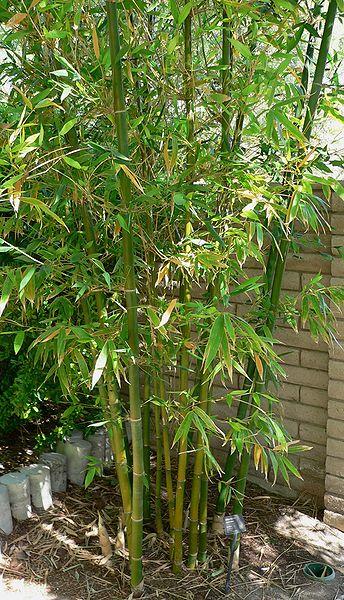 Bambus-Pflanze (lat. Bambuseae)